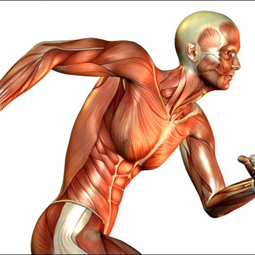 اثرات تمرینات محدودیت جریان خون (کاتسو) بر سیستم عضلانی